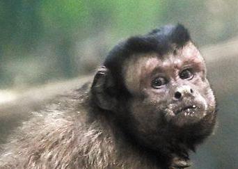 """天津动物园黑帽悬猴成""""网红"""""""