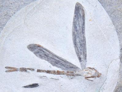 英男子发现2亿年前蜻蜓化石 以其姓名命名