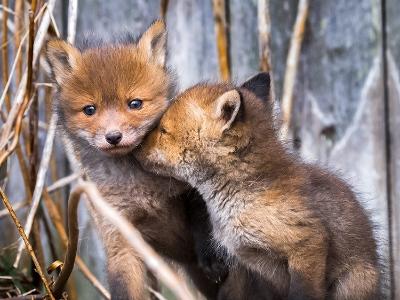 芬兰摄影师深入野狐狸巢穴捕捉其纯真一面