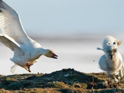 北极狐尾随鹅群偷吃不成反被咬 吓破胆猛跑逃命