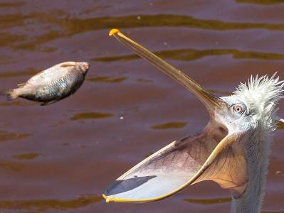 摄影师拍鹈鹕捕食小鱼 张大嘴稳稳接住