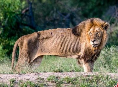 南非雄狮瘦成皮包骨 遭大象驱赶落魄不堪